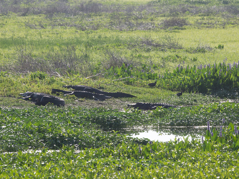 Gators sleeping at Paynes Prarie