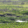 Gators sleeping at Paynes Prarie