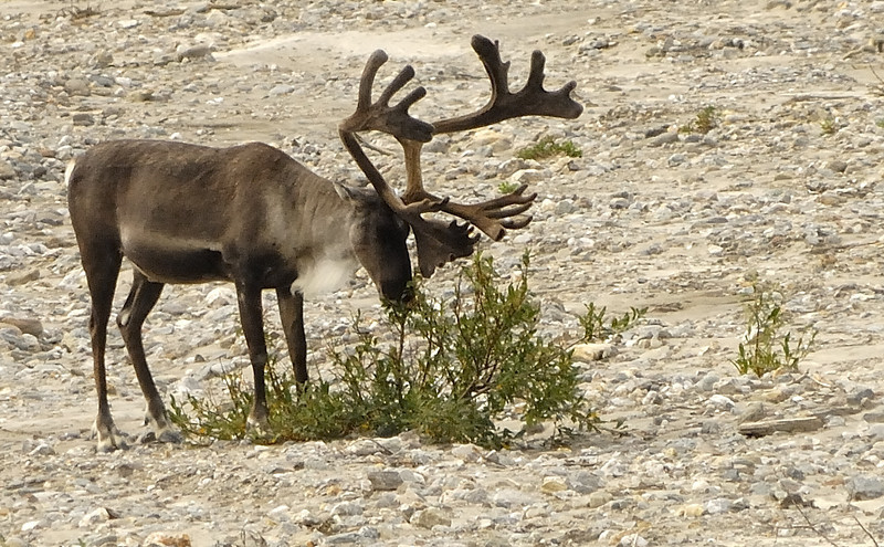 Caribou browsing along a river bed in Denali National Park - Summer 2007