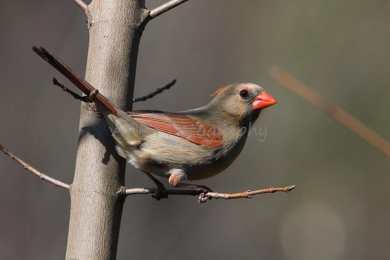 """cardinal, """"female cardinal"""""""
