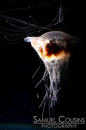 Sea jelly at the New England Aquarium.