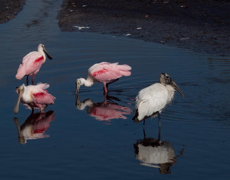 Roseate Spoonbills, and Wood Stork