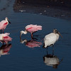 Roseate Spoonbills, and Wood Stork