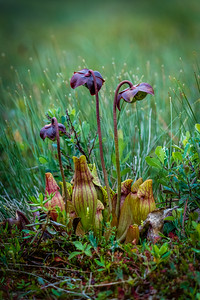 Newfoundland Pitcher Plant