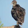 Black Vulture at Rodman Dam