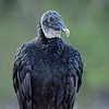 Posing Black Vulture