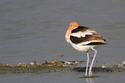 American Avocet at Radio Road