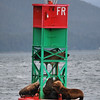 Sea Lions - Near Juneau, AK - July 2013