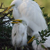 Great Egrets at their nest
