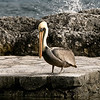 Pelican on the rocks in Playa del Carmen, Mexico