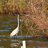Great White Egret, lake near Orlando, FL