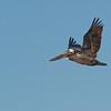 Brown Pelican flies over Dunedin Causeway