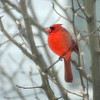 Cardinal_in_snow_E9AutoFix