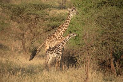 Giraffe 1256