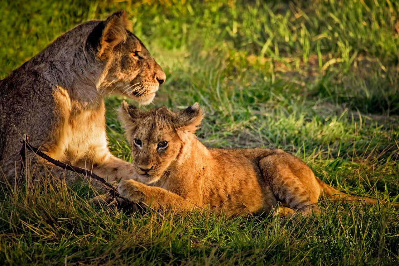 Lioness, Cub, and Stick Late Afternoon on the Serengeti