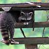 "Raccoon to photographer - ""you're not going to do anything to scare me now are you?"" ... Kellum Creek"