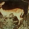 Deer in the Woods (00097)