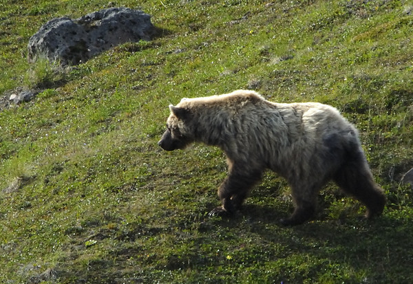 Grizzly Bear in Denali National Park - Summer 2007