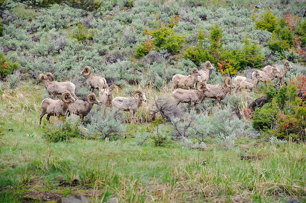 Rocky Mountain Sheep, Washburn Range, Yellowstone NP 2012