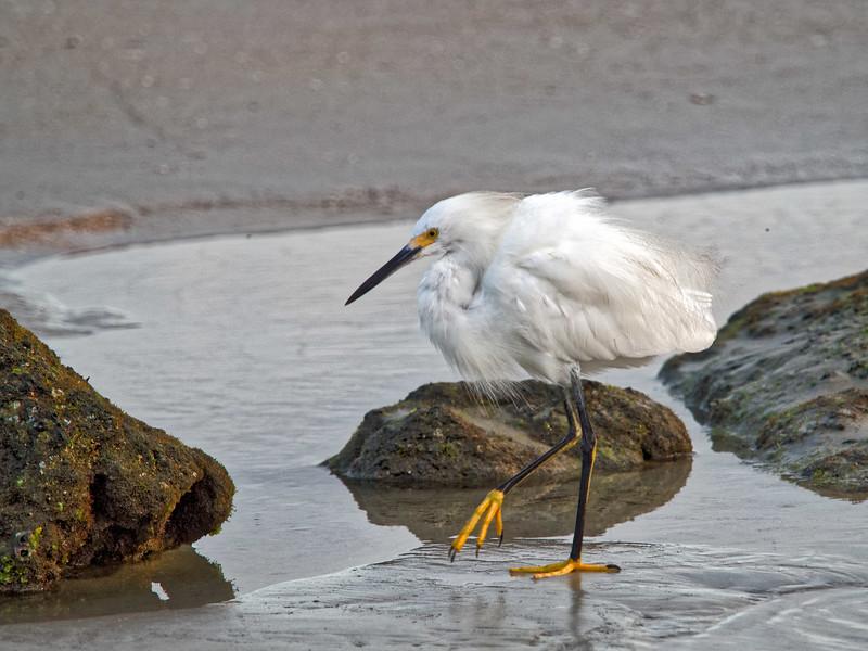 Snowy Egret on Marineland Beach