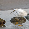Snowy Egret on Marineland Beach