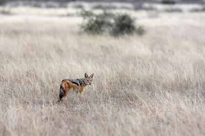 Black-backed jackal Central Kalahari, Botswana