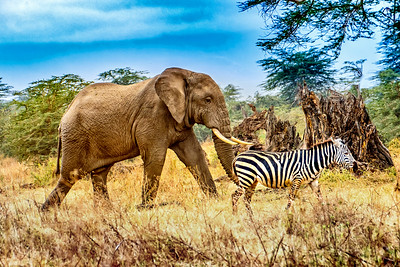 Elephant and Zebra