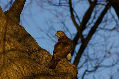 Tues, January 10th, 2006:  This adolescent Red-Tail Hawk is a resident of the State Capitol Complex, Harrisburg.