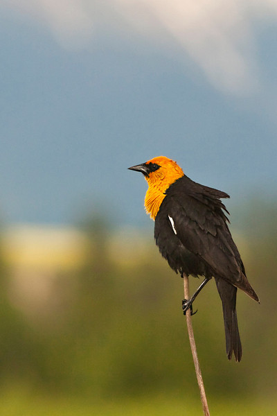 Yellow Headed Blackbird1