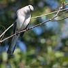 Northern Mockingbird in Jacksonville Beach