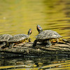 Western Painted Turtles sunning at Beacon Hill Park