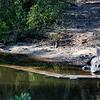 Roseate spoonbill eyes an alligator