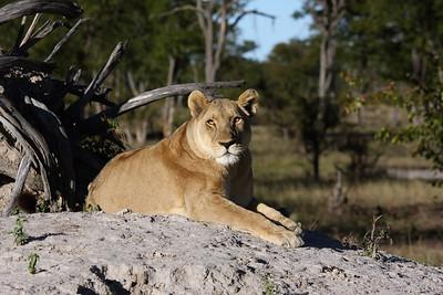 Lioness Linyanti Swamp, Botswana
