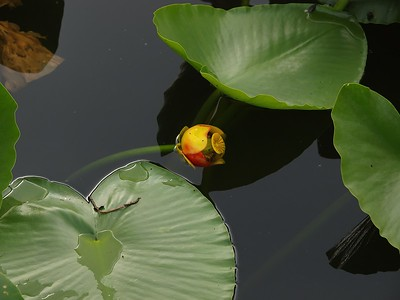 Water Lily and lily pads, Lake Fenwick.