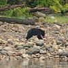 Black Bear on beach, Tofino, BC