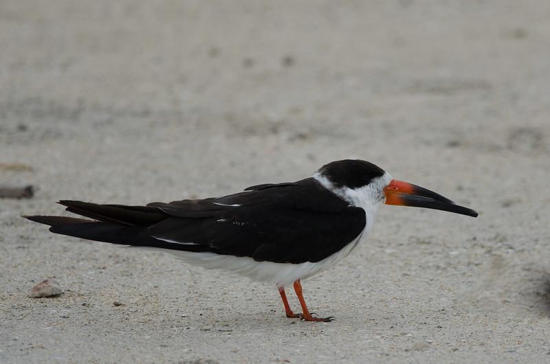 Black Skimmer at Vilano Beach