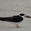 Black Skimmer at Vilano Beach