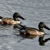 Ducks at Merritt Island