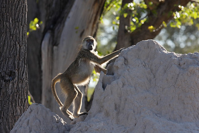 Baboon Linyanti Swamp, Botswana