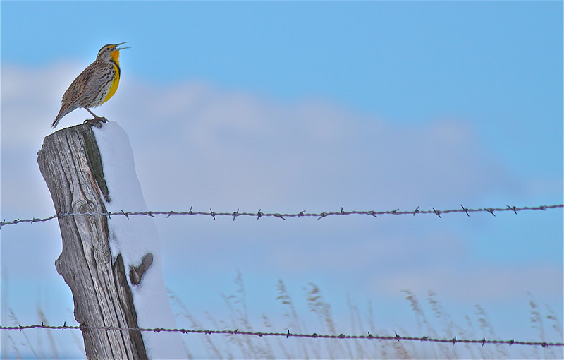 Western Meadowlark, MT