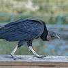 Strolling Vulture