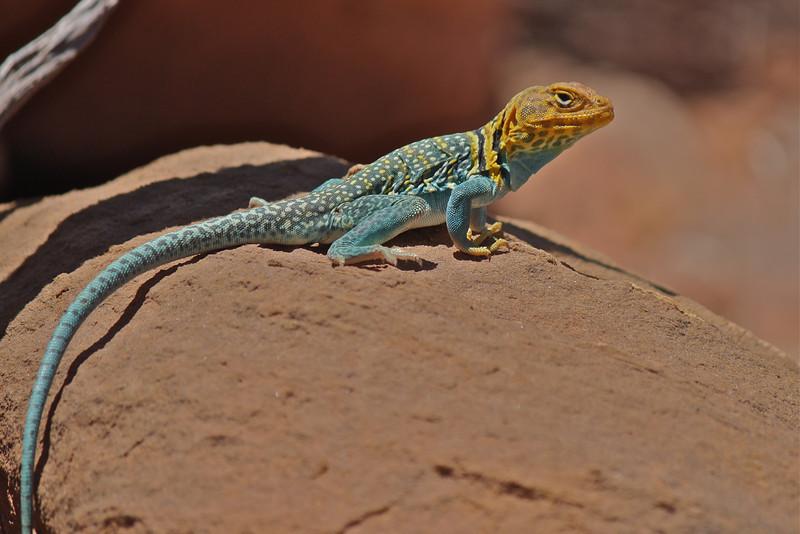 Utah Lizard