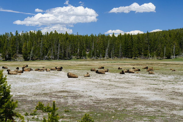 American Bison, Firehole River Basin, Yellowstone NP (June 2011)