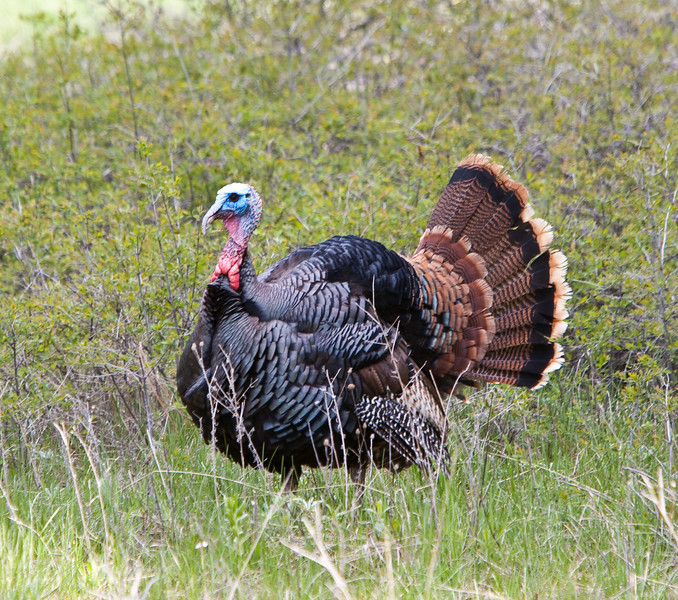 Not quite the Wild Turkey I was asking for... Rollins, Montana 2009