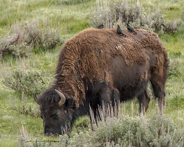 Bison and friends - Grant Tetons 2015