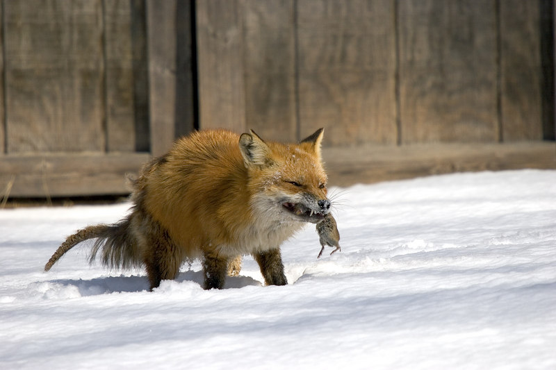 Fox8365