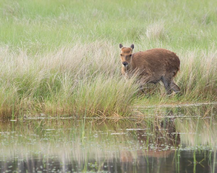 Sitka Deer, Chincoteague NWR