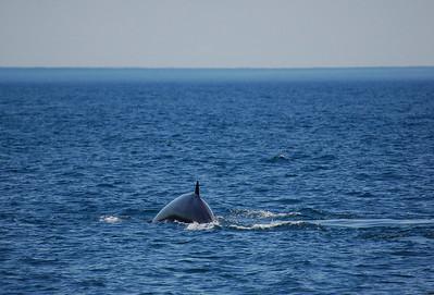 Fin Whale. Taken in Maine, near Bar Harbor