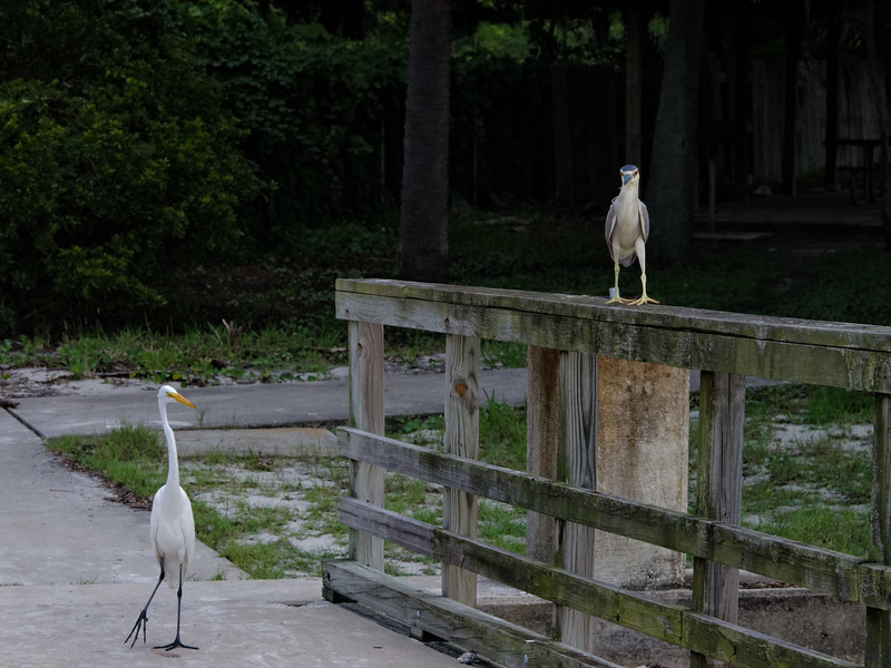 Black-crowned Night Heron and Great Egret