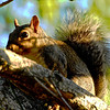 Gray Squirrel, Kellum Creek, Sevier County, Tennessee
